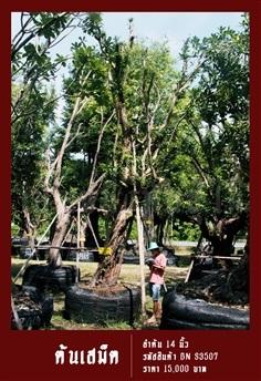ต้นเสม็ด NO.3507