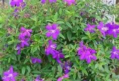 #เอนอ้าหรือโคลงเคลง ดอกสวยสีม่วง