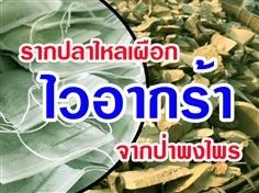 รากปลาไหลเผือก (บรรจุซอง)