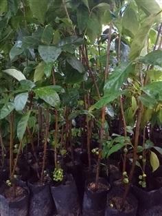 ต้นมะเดื่อฉิ่งหรือมะเดื่อชุมพร