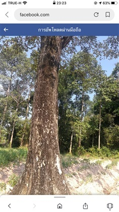 ขายไม้ประดู่ ไม้มะค่าแต้ ไม้เต็ง ไม้รัง ไม้สะเดา จากสวนป่า