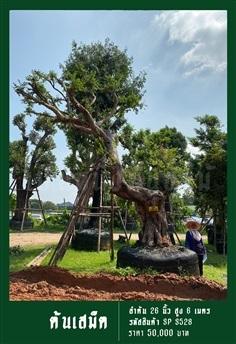 ต้นเสม็ด NO.528