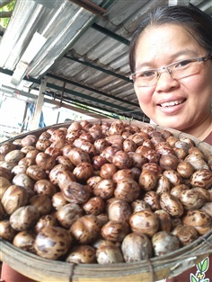 ขายเมล็ดยางพาราจำนวนมาก