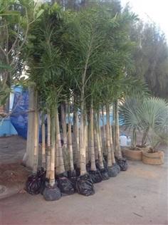 ต้นปาล์มฟอกเทลหรือปาล์มหางกระรอก