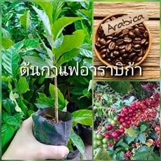 ต้นกาแฟอาราบิก้า ชุดละ2ถุง4ต้น ส่งฟรี
