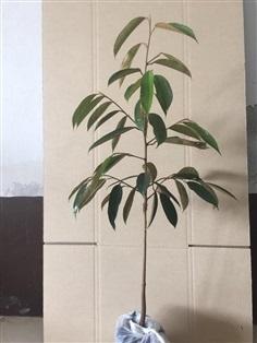 ต้นหมอนทอง(กิ่งกระโดง)