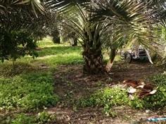 ขายหน่ออินทผลัมบาฮีแยกจากต้นเแม่เนื้อเยื่อ