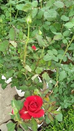 กุหลาบดอกตูมๆสวยๆมาใหม่