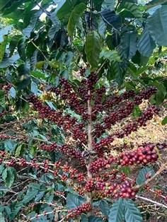 ต้นกาแฟอาราบิก้า (ต้นกล้า)