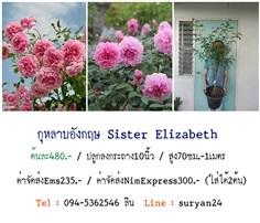 กุหลาบอังกฤษSister Elizabeth (ดอกหอม)