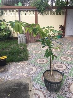 ต้นกล้าอินทนิล อายุ 1 ปี สูง 80 ซม.