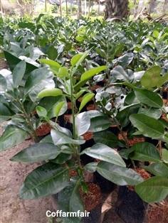 ต้นละ 100 ต้นส้มโอเสียบยอด สายพันธุ์ทับทิมสยามแท้ พร้อมปลูก