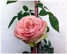 Semi Piano rose