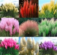 เมล็ดพันธุ์หญ้าภูเขา (Pampas grass) คละสี