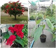 วาซีวีเซีย (ไม้ยืนต้น-ดอกสวย)