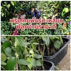 พันธุ์พริกไทย สายพันธุ์ปะเหลียน ส่งเก็บเงินปลายทาง