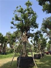 ต้นมั่งมี ขนาด 15 นิ้ว
