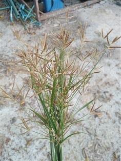 หญ้าแห้วหมู รากตากแห้ง ใบทั้งต้น