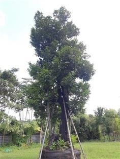 ต้นนางกวัก