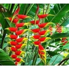 จำหน่ายหน่อ เฮลิโคเนีย รอสตราต้า heliconia rostrata