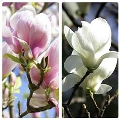 จำหน่ายต้นดอกแมกโนเลีย