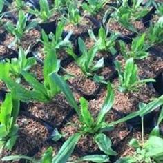 ต้นกล้าผักชีฝรั่ง