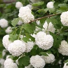 จำหน่ายต้นดอกไวเบอร์นัม (Fragant Viburnum) หรือ สโนบอล