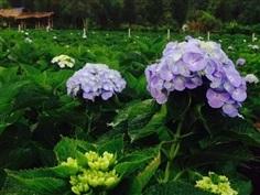 ดอกไฮเดรนเยียสีม่วง ช่อใหญ่