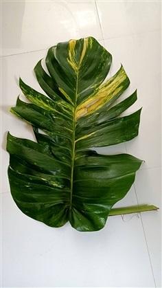 พลูด่างยักษ์ใบฉีก ใบด่างขาวเขียว ใบใหญ่ต้นใหญ่มาก กิ่งพันธุ์