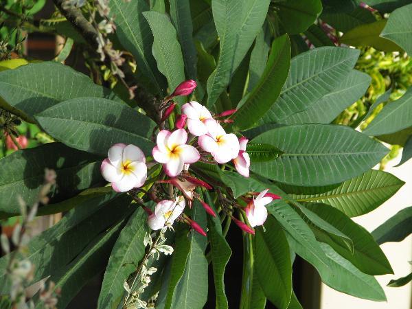 ลีลาวดี,ไม้ประดับ Frangipani, Plumeria ไม้จัดสวน ขายลีลาวดี จำหน่ายลีลาวดี ลีลาวดี,ลีลาวดี