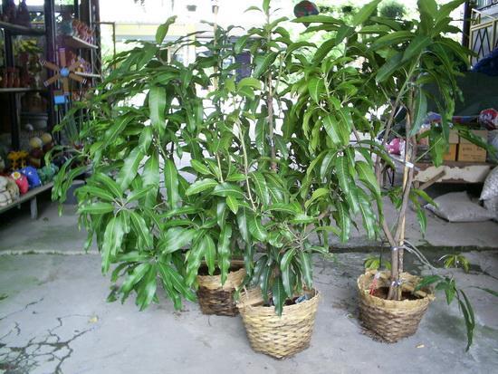 1)ต้นมะม่วงเขียวเสวย  2)ต้นมะม่วงมันขุนศรี 3)ต้นมะม่วงน้ำดอกไม้