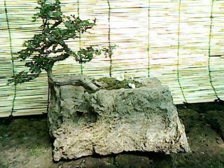 บอนไซ เล็กบนหินฟองน้ำ