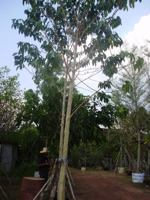 ต้นเจ้าหญิงสีชมพู,ต้นเจ้าหญิงสีชมพู,เจ้าหญิงสีชมพู