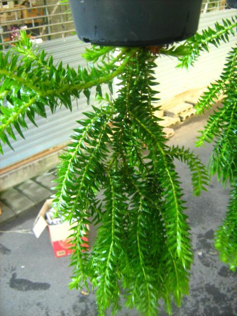 เฟิร์นช้องนางคลี่(ของจันทบุรี),ขายช้องนางคลี่,ต้นช้องนางคลี่,ขายต้นช้องนางคลี่,ช้องนางคลี่