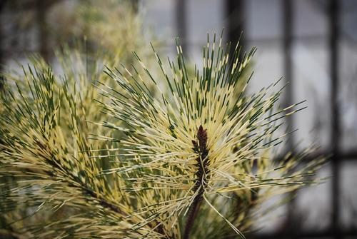 Pinus thunbergii (variegated black pine)
