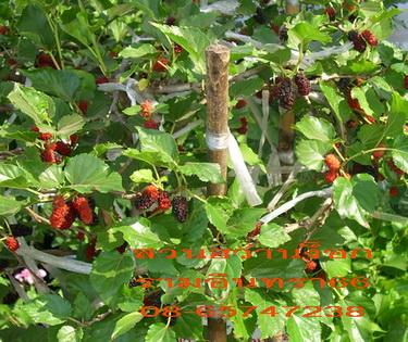 มัลเบอรี่( หม่อน),มัลเบอรี่,หม่อน,ต้นไม้,ไม้ดอก,ไม้ประดับ,ดิน,กระถาง,ลีลาวดี,ขาวพวง,โมก,.โมก,.ต้นลีลาวดี,หม่อนไหม