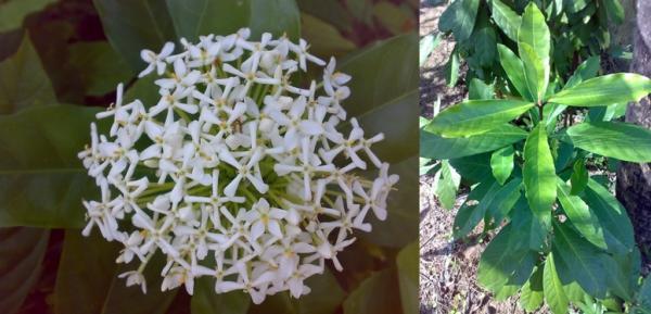 เข็มขาวดอกหอม