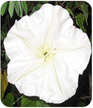 เมล็ดดอกชมจันทร์ (หรือ ดอกบานดึก , ดอกพระจันทร์)