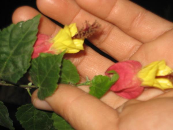 อะบูทาลอน ชบาโคมสีแดงเหลือง
