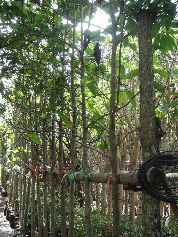 """ยางนา2"""",ไม้ยืนต้น ,ยางนา"""