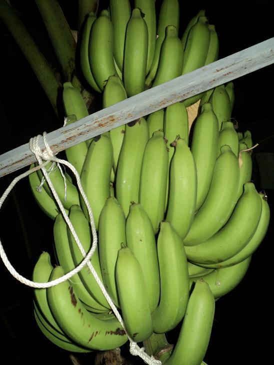 หน่อกล้วยหอมทอง