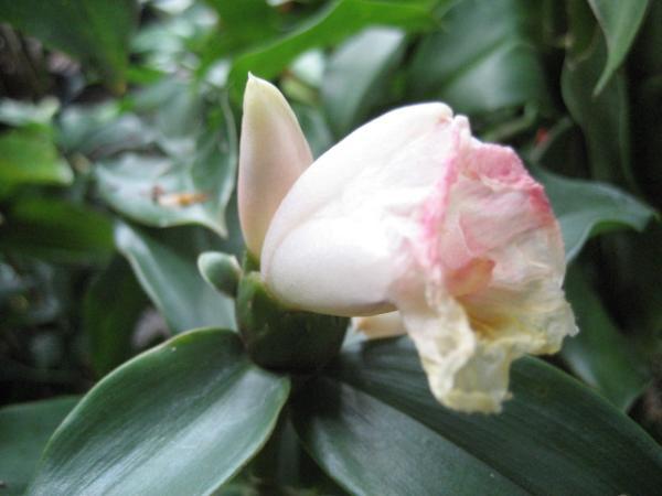 เอื้องหมายนา ดอกขาว