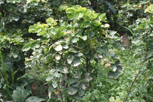ต้นเ้ล็บครุฑกุหลาบ