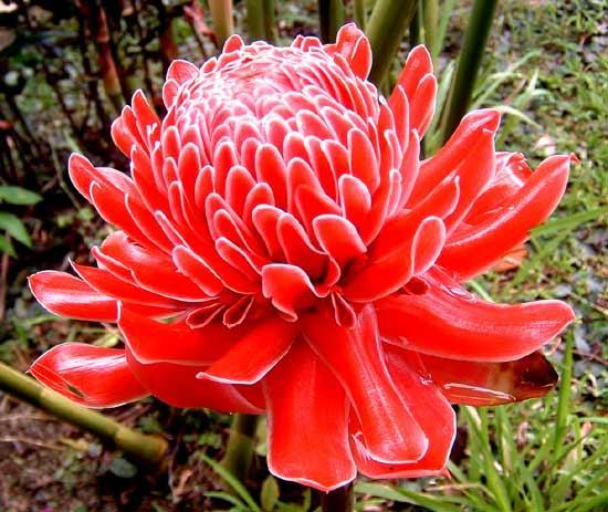 ต้นดาหลาดอกสีแดงsale Etlingera elatior