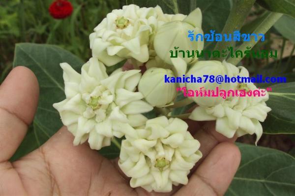 ขายต้นรักซ้อน ราคาถูกมากๆๆ,ขายต้นรักซ้อน ขายยอดรักซ่อน ขายดอกรักซ้อน  ขายใบรักซ้อน ขายรากรักซ้อน ,ดอกรัก