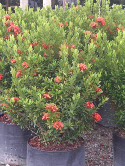 ต้นเข็มแดงเชียงใหม่ (ถุง 12 นิ้ว),ต้นเข็มแดงเชียงใหม่,เข็ม