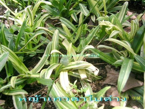 หญ้าเทวดา(ปักกิ่ง)ใบด่าง