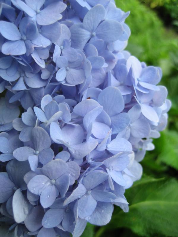 ไฮเดรนเยีย,ไฮเดรนเยีย ดอกไม้สีฟ้า,ไฮเดรนเยีย