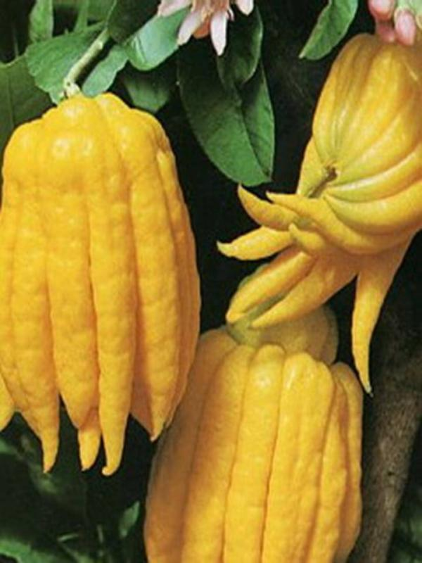 ส้มโอมือ