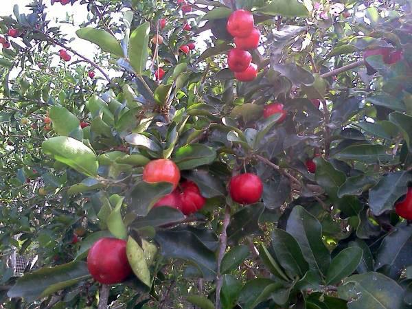 ต้นเชอร์รี่หวาน,กิ่งตอนเชอร์รี่หวาน,กิ่งพันธุ์เชอร์รี่หวาน,ขายเชอร์รี่หวาน,ขายต้นเชอร์รี่หวาน,ขายกิ่งเชอร์รี่หวาน,เชอร์รี่